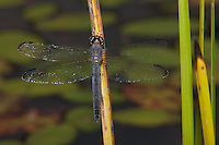 Slaty Skimmer (Libellula incesta) Dragonfly - Mature Female, Promised Land State Park, Greentown, Pike County, Pennsylvania