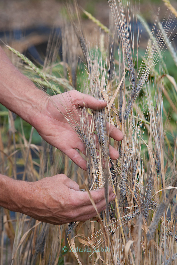 John Letts, Heritage grains. An early ripening rare Purple Barley in John's experimental garden.   John is in the process of multiplying this up for brewing beer.