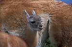 Juvenile Guanaco standing by mothers side with it's tongue out. The young are known as Chulengos