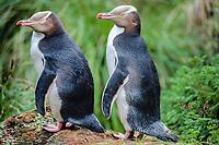 yellow eyed penguin, endangered, Megadyptes antipodes, Enderby Island, New Zealand