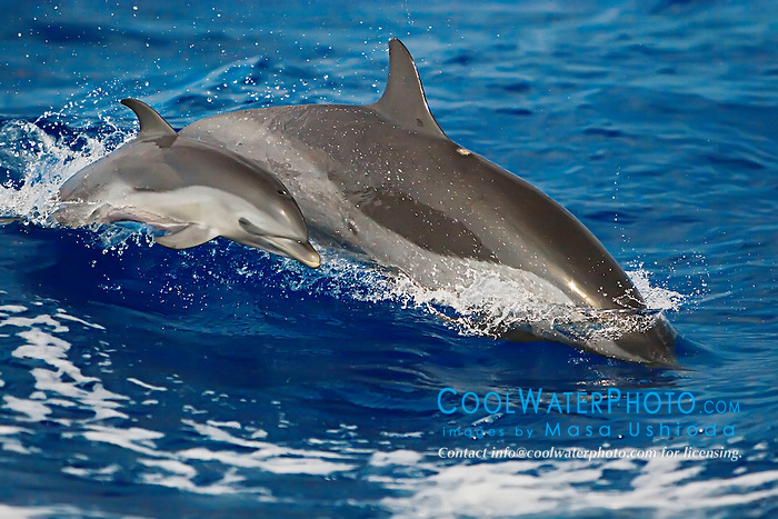 Pantropical Spotted Dolphins, mother and calf, Stenella attenuata, wake-riding, off Kona Coast, Big Island, Hawaii, Pacific Ocean