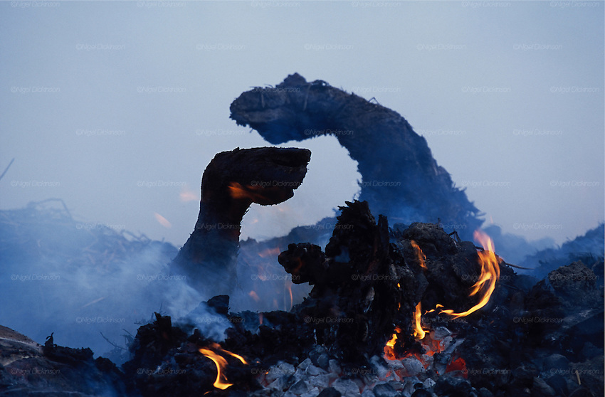 Europe, Britain, Cumbria.' Foot & Mouth' Crisis. Millions of beasts suspected of 'Foot & Mouth' are incinerated. The burnt remains will be put into landfill. 2001.'MEAT' across the World..foto © Nigel Dickinson
