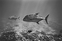 Blue Trevally at Kealakekua Bay