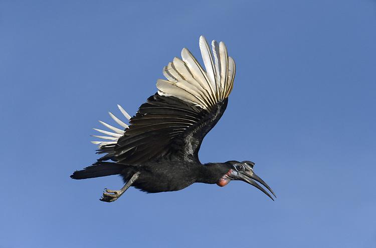 Abyssinian Ground-hornbill - Bucorvus abyssinicus