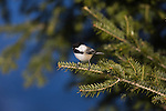 Black-capped chickadee perched in a spruce tree