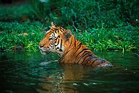 Sumatran Tiger Panthera tigris sumatrae, captive specimen