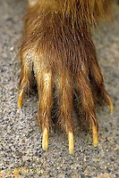 MA04-029b   Woodchuck - front foot adapted for digging - Marmota monax