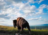 Bull Bison at the National Bison Range
