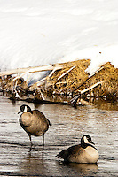 Pair of Canada Geese (Branta canadensis) [Wild] in Madison River. Winter, western side of Yellowstone National Park, Wyoming, United States of America