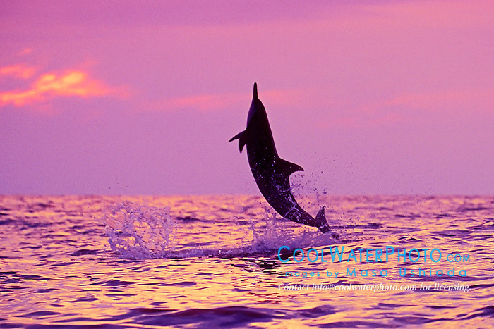 silhouette of Hawaiian spinner dolphin, Gray's spinner dolphin, or long-snouted spinner dolphin, Stenella longirostris longirostris, leaping at sunset, off Kealakekkua Bay, Big Island, Hawaii, USA, Pacific Ocean