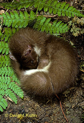 MA28-006z  Short-Tailed Weasel - ermine resting in forest in brown summer coat - Mustela erminea .