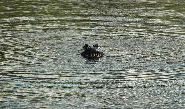 Alligator emerging 1