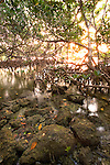 Interior of a Red Mangrove habitat, Florida Keys National Marine Sanctuary, Key Largo, Florida