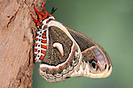Robin Moth, Hyalophora cecropia, USA, America's largest silkmoth, Saturniidae