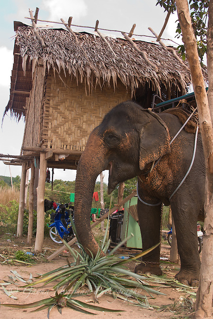 Asian elephant. Traditional Thai hut on on stilts. Koh Lanta, Thailand