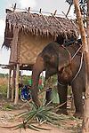 Asian elephant. Traditional Thai hut on on stilts. Koh Lanta, Thailand