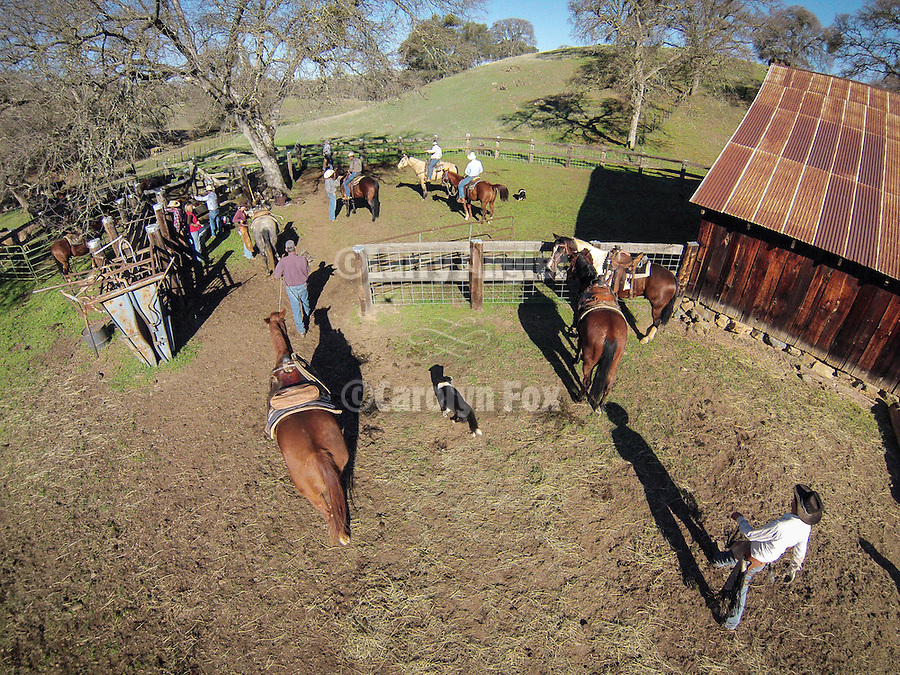 WInter calf marking and branding with the Dell'Orto outfit at the Ellis Ranch, Amador County, Calif.<br /> <br /> Photographed from above using a sUAV/quadcopter.