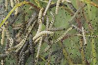 Traubenkirschen-Gespinstmotte, Traubenkirschen-Gespinnstmotte, Raupe, Raupen frssen an Traubenkirsche, Raupengespinst, Gespinstmotte, Gespinnstmotte, Yponomeuta evonymella, Yponomeuta padi, Yponomeuta evonymellus, Bird-cherry Ermine, caterpillar, L'Hyponomeute du fusain, Gespinstmotten, Gespinnstmotten, Yponomeutidae, ermine moths, ermine-moths