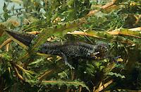 Kammmolch, Kammolch, Kamm-Molch, Weibchen, Molch, Molche, Triturus cristatus, warty newt, European crested newt