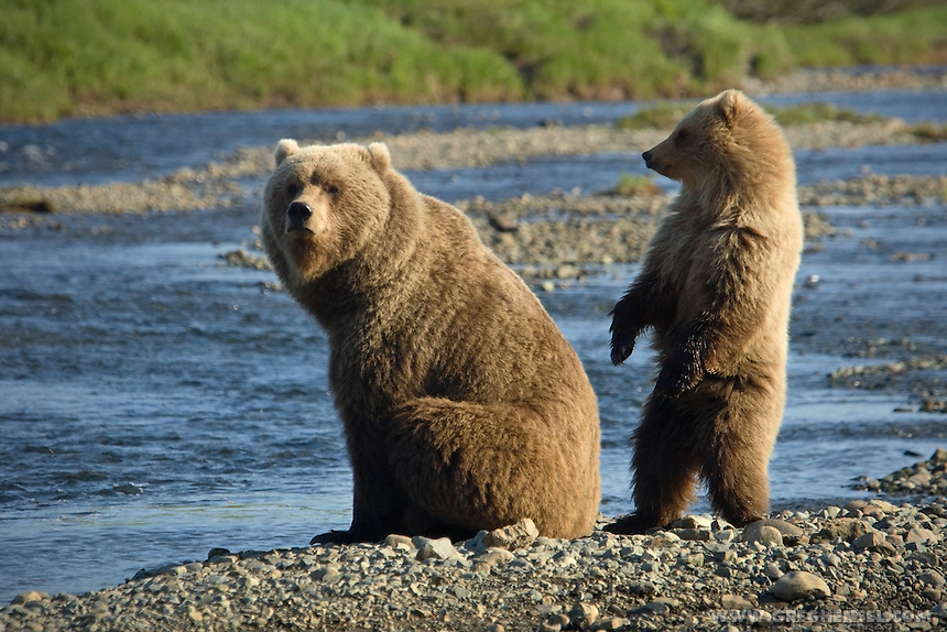 Mother Grizzly Bear and her cub wait for Salmon at Mikfik Creek. McNeil River Brown Bear Sanctuary. Summer in Southwest Alaska.