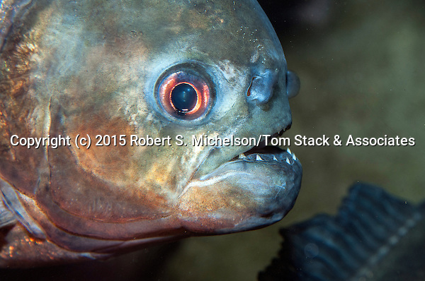 Red-belly Piranha close-up