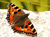 The Tortoiseshell Butterfly is a medium-sized butterfly that is mainly reddish-orange in colour, with black and yellow markings on the forewings as well as a ring of blue spots around the edge of the wings. It has a wingspan ranging from 4.5-6.2 cm.<br />