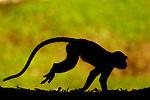 Long-tailed Macaque (Macaca fascicularis) female running, Tawau Hills Park, Sabah, Borneo, Malaysia
