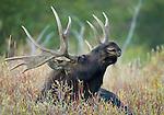 Moose, Grand Teton National Park, Wyoming, USA