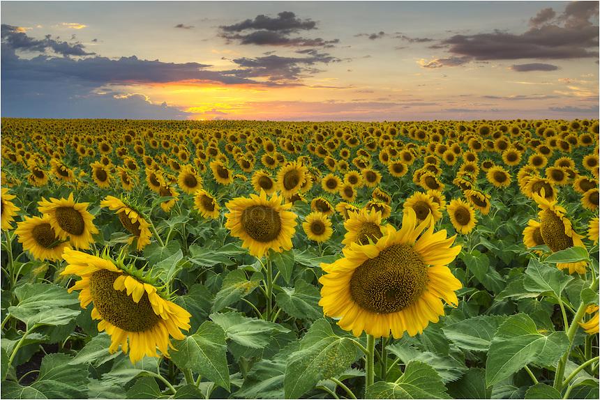This Field Of Sunflowers In Texas Is One My Favorite Wildflower Scenes Ive