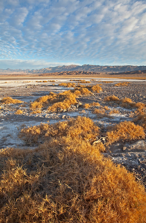 Salt grass in the Cottonball Marsh area along Salt Creek in Death Valley National Park, California, USA