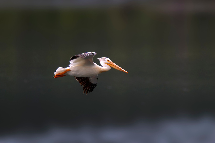 American white pelican flying above the Snake River, Oxbow Bend, Grand Teton National Park, Teton County, Wyoming, USA