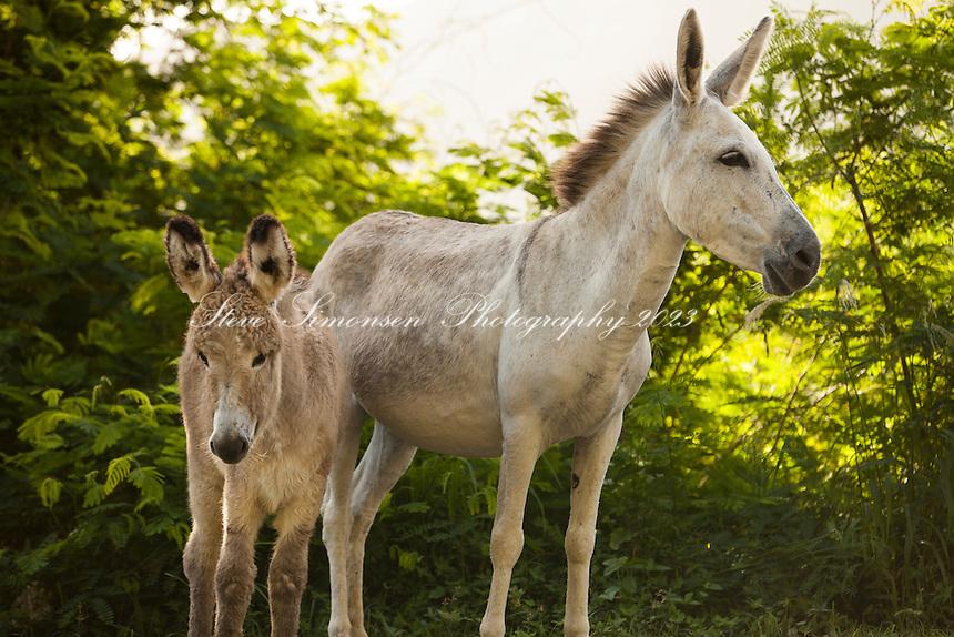 Wild donkeys<br /> Coral Bay<br /> St. John<br /> U.S. Virgin Islands