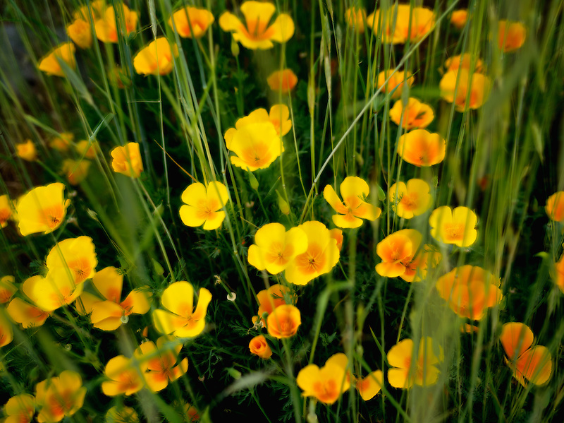 Poppies with grass. Klamath Falls, OR