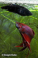 BY05-040z  Siamese Fighting Fish - male mating with egg laden female - Betta splendens