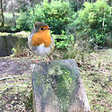 Glencoe Lochan, Ballachulish, Highlands, Scotland, UK. 08.01.2019. A friendly Robin, with fluffed up feathers on his head like Donald Trump's hair, perches on a fence post by Glencoe Lochan, Ballachulish, Highlands, Scotland, UK. Photograph © Jane Hobson.