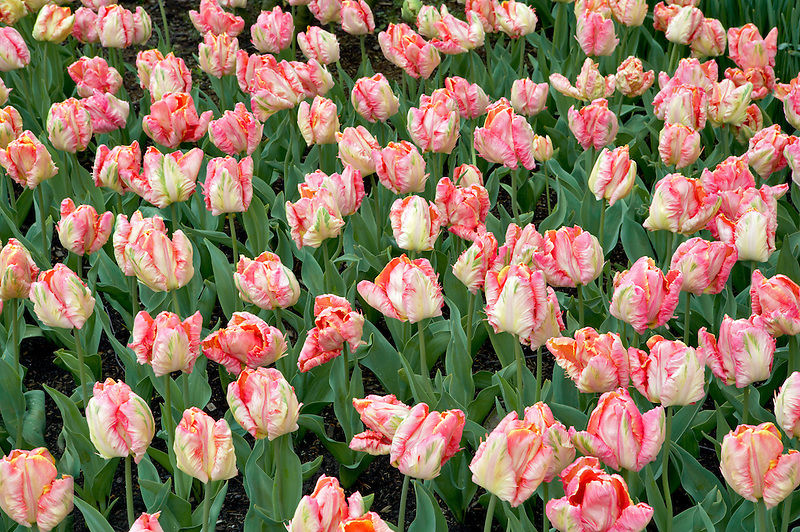 Roozengaarde display garden with Rai Parrot Tulips. Mt. Vernon. Washington