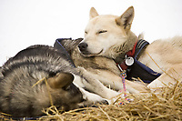 Hugh Neff's dog *Delia* rests her head on her brother *Wild Bill*  at the Nikolai checkpoint on Tuesday during Iditarod 2008