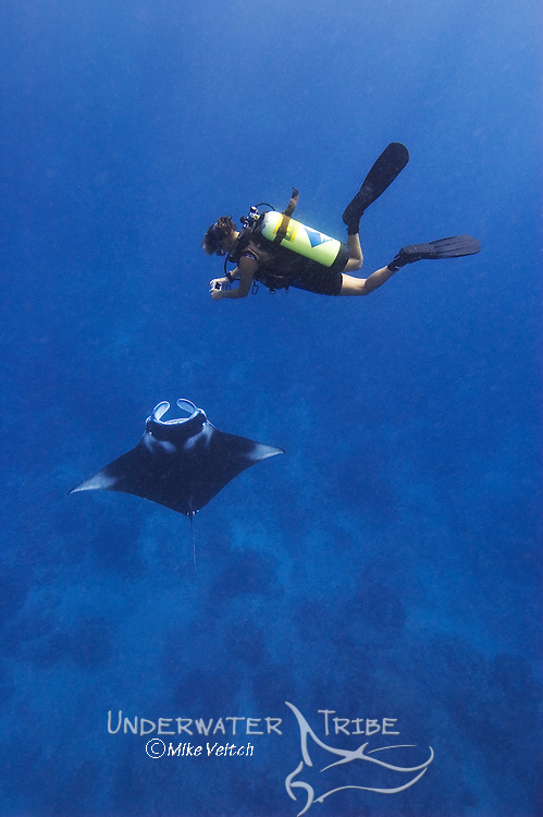 A diver photographs a Manta Ray, Manta birostris, that is feeding on coral spawn, Goofnuw Channel, Valley of the Rays, Yap, Micronesia, Pacific Ocean (MR)