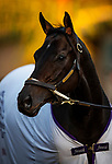OCT 21: Midnight Bisou prepares for the Breeders' Cup Distaff at Santa Anita Park in Arcadia, California on Oct 21, 2019. Evers/Eclipse Sportswire/CSM