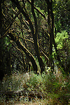Moss covered branches in the Parque nacional de Garajonay forests, La Gomera, Canary Islands,Spain