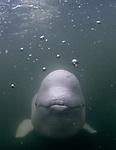 Arctic Canada, beluga whales (Delphinapterus leucas), status: near threatened