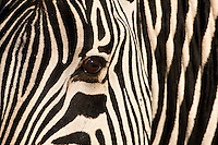 Close-up of zebra head