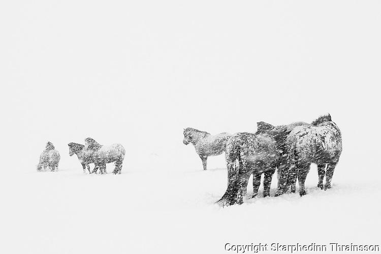 Horses in a snowstorm