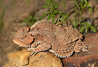 437500002 a wild greater short-horned lizard phrynosoma or tapaja hernandesi rests near the coronado national memorial highway near the entrance to the monument in southeastern arizona