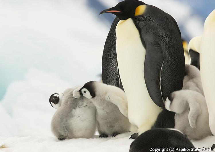 Emperor penguin, Aptenodytes forsteri, chicks playing, Snow Hill Island, Erebus and Terror Gulf, Antarctic Peninsula, Antarctica