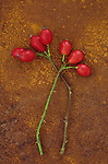 Two stems of Dog rose or Rosa canina lying with their ripe shiny red rosehips on rusty metal sheet