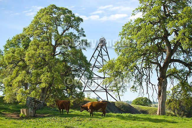 Historic Fremont Gold Mine headframe in the Mother Lode Gold Country, oaks and grazing cattle