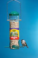 Sumpfmeise, Sumpf-Meise, an der Vogelfütterung, Fütterung, mit Körnern gefülltes Futtersilo, Körnerfutter, Meise, Meisen, Poecile palustris, Parus palustris, marsh tit. Ganzjahresfütterung, Vögel füttern im ganzen Jahr, Vogelfutter der Firma GEVO