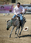 AJ Augusto races in a zebra race during the 54th International Camel Races in Virginia City, Nev., on Friday, Sept. 6, 2013.  <br /> Photo by Cathleen Allison