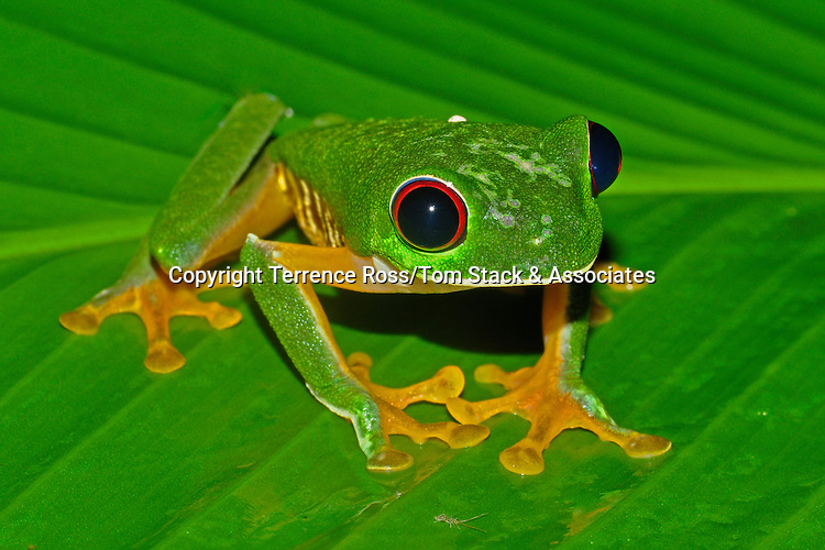 Red eye tree frog ( brown sided variant) The red eye tree frogs of Costa Rica's Pacific slope have darker side markings than those of the Caribbean slope, which tend to have blue markings.